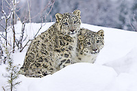 Pair of Snow Leopards sitting on a snowy hill - CA