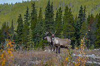 Woodland Caribou or forest-dwelling caribou (Rangifer tarandus caribou).  British Columbia.  Fall.