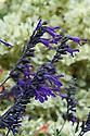 Salvia 'Amistad', mid October.