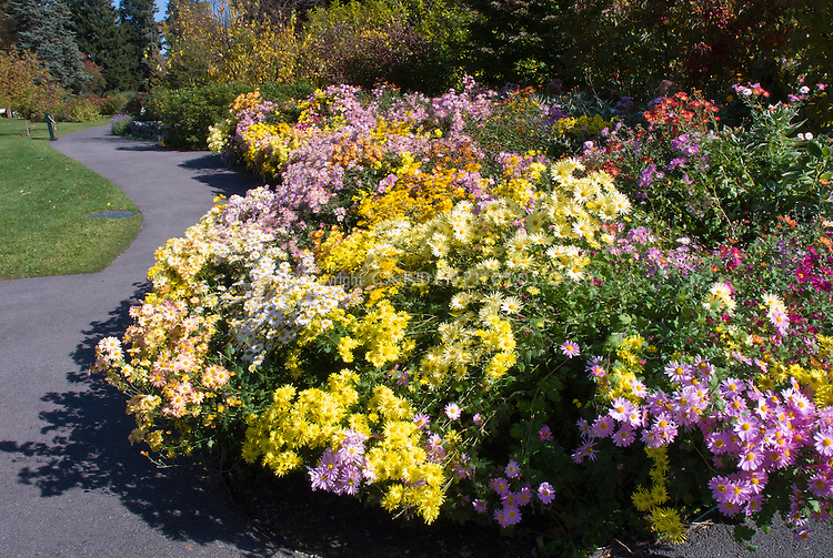 Mix of Chrysanthemums at NYBG in autumn fall