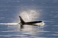 Killer Whale, Orcinus orca, surfacing in Southeast Alaska, USA. Pacific Ocean