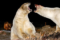 polar bear, Ursus maritimus, scavenging and fighting over a bowhead whale, Balaena mysticetus, carcass at night, 1002 coastal plain of the Arctic National Wildlife Refuge, Alaska, polar bear, Ursus maritimus