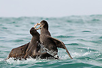 Northern Giant Petrel (Macronectes halli) pair fighting, Kaikoura, South Island, New Zealand, sequence 4 of 5