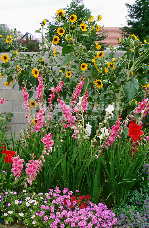 14860-EF Garden Bed, Sunflowers, Gladiolus, Convolvulus, Babylon-series Verbenas, Nepeta, in June by block wall in backyard, at Bakersfield CA USA