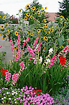 14860-EF Garden Bed, Sunflowers, Gladiolus, Convolvulus, Babylon-series Verbenas, Nepeta, in June by block wall in backyard, at Bakersfield CA USA