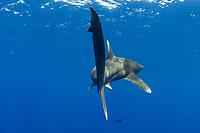 Oceanic whitetip shark, Carcharhinus longimanus, Hawaii.