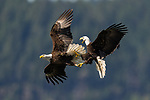 A pair of eagles hold hands in mid air as they battle by Chris Covington
