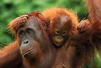Borneo Orangutan (Pongo pygmaeus),  female with baby after rain, Camp Leaky, Tanjung Puting National Park, Kalimantan, Borneo, Indonesia