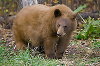 Young Cinnamon Black Bear standing in front of a tree