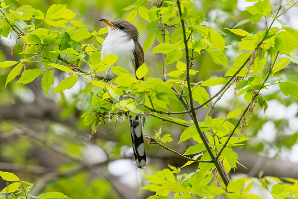 Yellow-billed Cuckoo (Coccyzus americanus).  Great Lakes Region.  May.