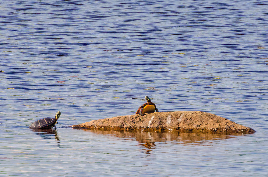 Soakin' up the midsummer sun ! Two Painted Turtles take full advantage of solar power...