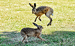 A hare-raising moment by Natasha Weyers