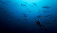 scalloped hammerhead, Sphyrna lewini, schooling, and rebreather diver with underwater camera, Cocos Island, Costa Rica, Pacific Ocean, MR