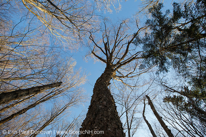 Old Yellow Birch (Betula alleghaniensis) during the spring months along the Mount Tecumseh Trail in the White Mountains of New Hampshire.