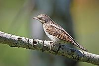 Wendehals, Jynx torquilla, Eurasian wryneck, Wryneck, Torcol fourmilier