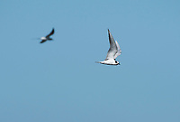 Forster's Tern, Sterna forsteri, flying over San Francisco Bay at Cesar Chavez Park, Berkeley, California