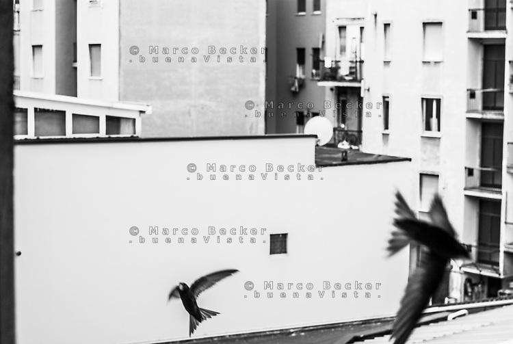 Milano. Rondoni svolazzano presso il nido ricavato sotto a un tetto --- Milan. Common swifts flying around their nest