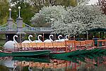 Apple blossoms adorn Swan boats and the Victorian bridge in the Boston Public Garden, Back Bay, Boston, MA, USA