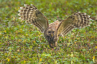 Barred Owl attempting to catch a crayfish (crawfish) in a southern swamp.  LA