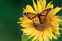 MONARCH BUTTERFLY (Danaus plexippus) on sunflower..North America.