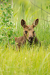 A moose calf walks in the grass in Northwest Wyoming.
