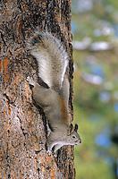 Abert's Squirrel, Sciurus aberti, on ponderosa pine tree near Flagstaff, Arizona, AGPix_0654