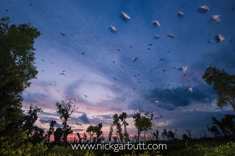Straw-coloured Fruit Bats (Eidolon helvum) returning to their daytime roost just before sunrise. Kasanka National Park, Zambia.