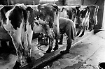 Farmer milking cows by hand using pump. 70s UK Gloucestershire 1970s Britain  Village life 1975 The Cotswolds.  Lower and Upper Slaughter are twin villages on the River Eye and are know as The Slaughters.  1975 <br /> <br /> Farmer Mr Kenneth Pugh milking cows.