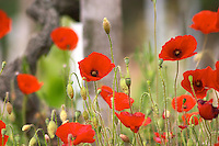 vineyard poppies dom a voge cornas rhone france
