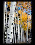 Autumn aspen tree trunk on Kenosh Pass, Colorado