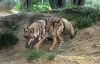 MA27-086z  Eastern Coyote - Canis latrans