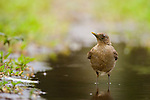 Clay-colored Thrush (Turdus grayi) in shallow water, Tortuguero National Park, Costa Rica