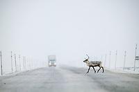 Caribou crosses the James Dalton in front of a Semi truck, Arctic, Alaska