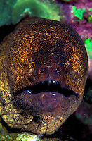 This large Yellowmargin Moray Eel ( Gymnothorax flavimariginatus ) peers out from the cover of the coral reef.Hawaiian name is Puhi.