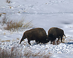 Photos of Bison