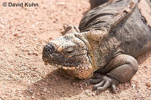 0629-1112  Exuma Island Iguana (Northern Bahamian Rock Iguana), Bahamas, Cyclura cychlura figginsi  © David Kuhn/Dwight Kuhn Photography