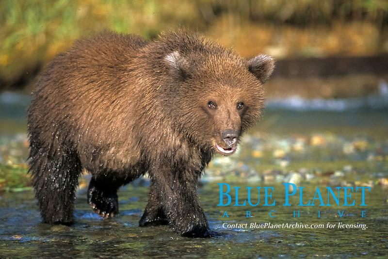 brown bear, Ursus arctos, grizzly bear, Ursus horribilis, cub in river along east coast of Katmai National Park on the Alaskan peninsula
