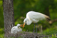 Great Egret or Common Egret (Casmerodius albus) nest.  Louisiana.  May.