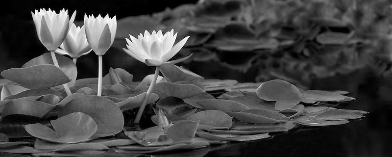 Water Lily - (Colorado). Hughes Water Gardens. Oregon