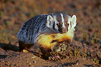 American Badger or North American Badger (Taxidea taxus)
