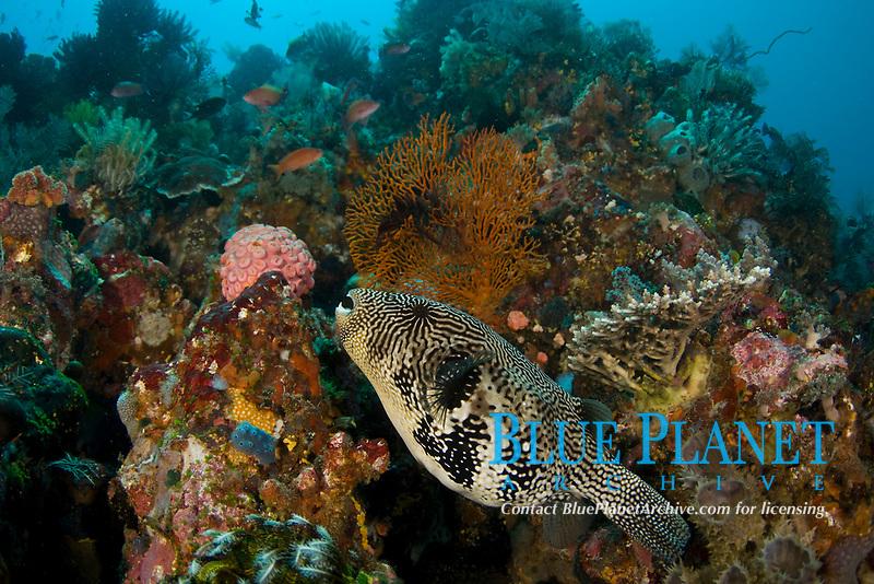 Blue-spotted puffer, Arothron caeruleopunctatus, on Coral Reef, Komodo National Park, Indonesia