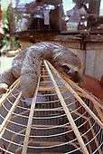 Belem, Para State, Brazil. Sloth on top of cage, for sale in the market.