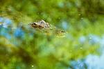 Saltwater crocodile, Borneo, Indonesia