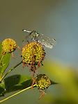 Male Eastern Pondhawk dragonfly on Buttonbush