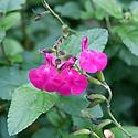 Salvia microphylla 'Cerro Potosi', mid October.