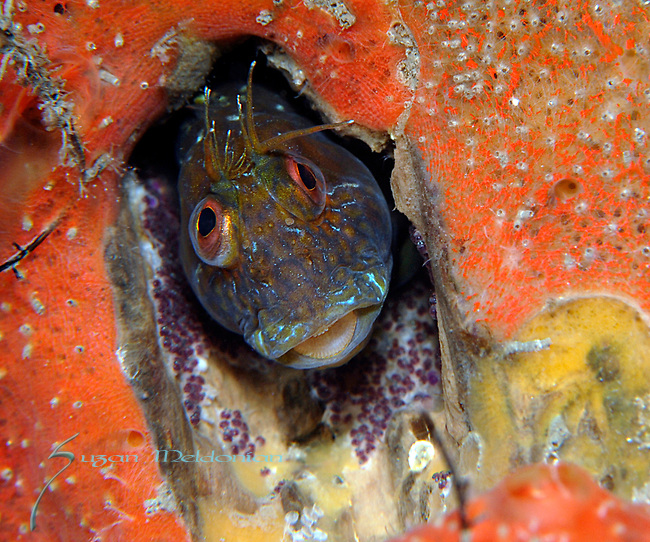 Blenny, Seaweed blenny, Parablennius marmoreus with eggs