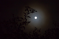 The Full Sturgeon Moon with  halo, and local foliage.
