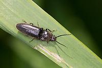 Rauhaar-Schnellkäfer, Rauhaarschnellkäfer, Schnellkäfer, Hemicrepidius spec., click beetle, Elateridae, click beetles
