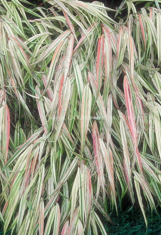 Hakonechloa macra probably FUBUKI(TM) 'Briform' Hakon ornamental grass, in autumn with pink striping