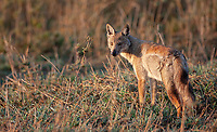 Our guide originally identified this as a golden jackal (later determined to be a wolf), but it's actually a side-striped jackal, which I've also seen in South Africa. During my return visit to Tanzania in 2019, we finally saw the golden wolf.